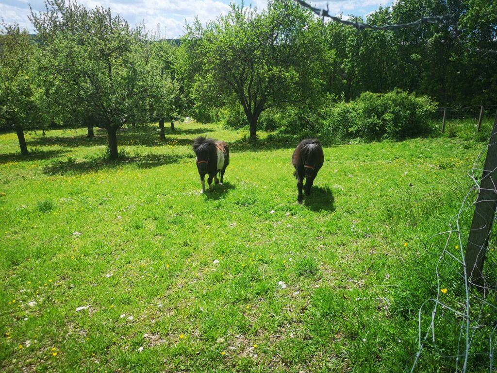 Ponys vom Weinbergshof in Treuchtlingen