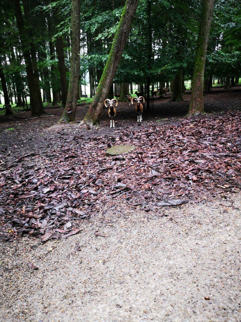 Freilaufendes Wild im Wildpark Poing (3)