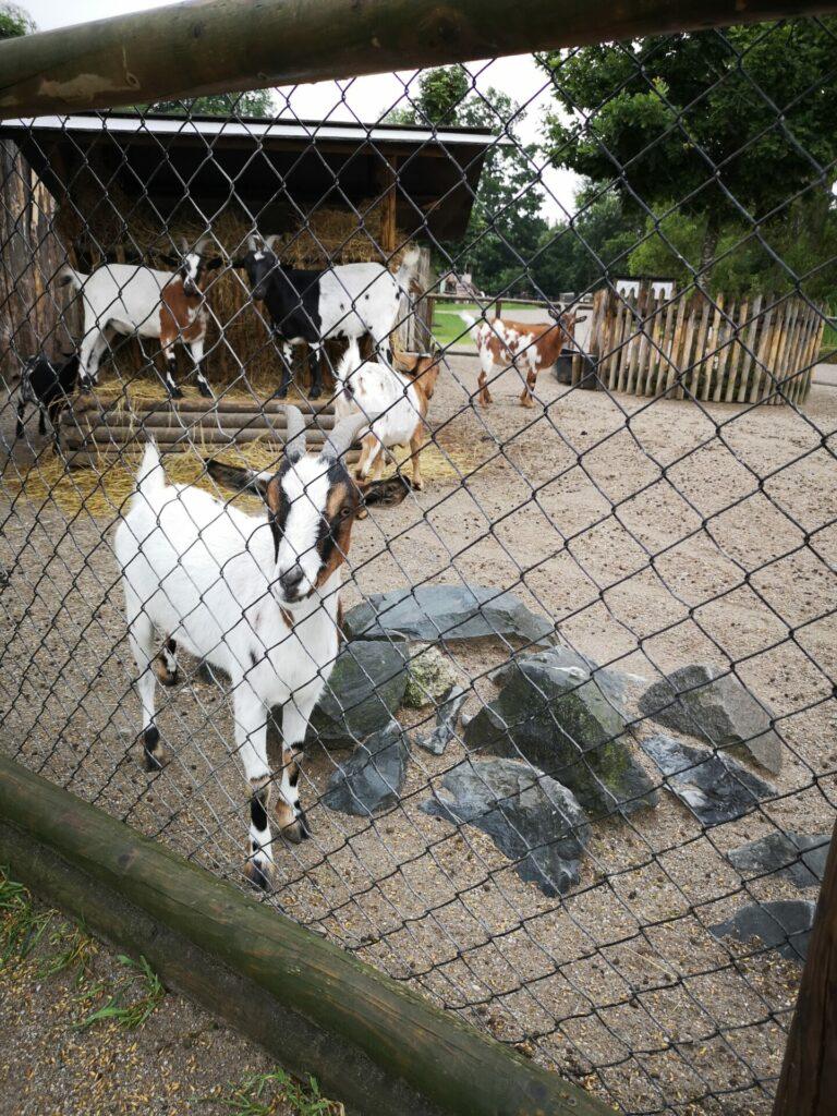 Ziegen im Wildpark Poing