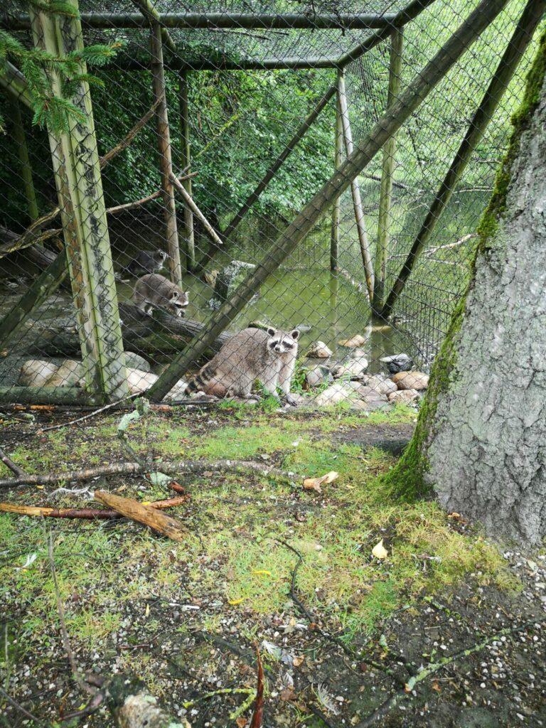 Waschbären im Wildpark Poing